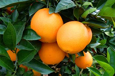 赣南脐橙 APP让脐橙买卖如此简单